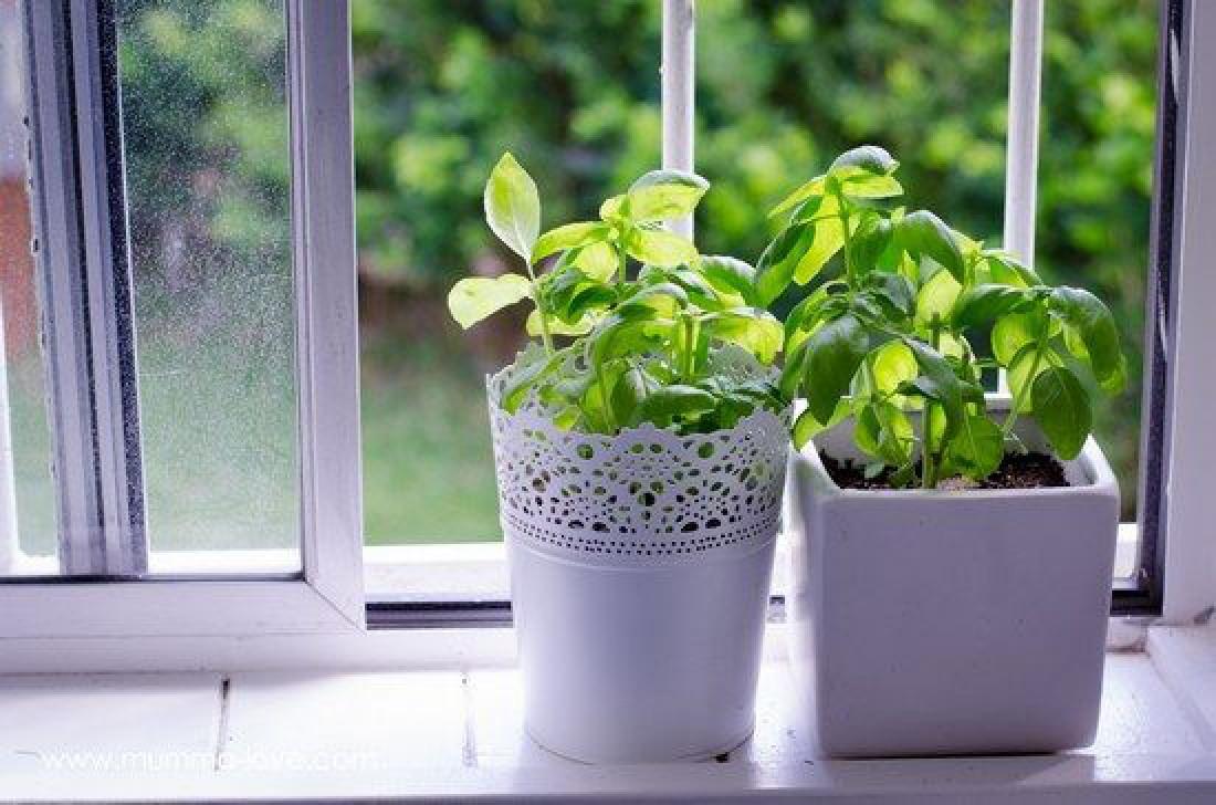 Огород на подоконнике: Как вырастить базилик?