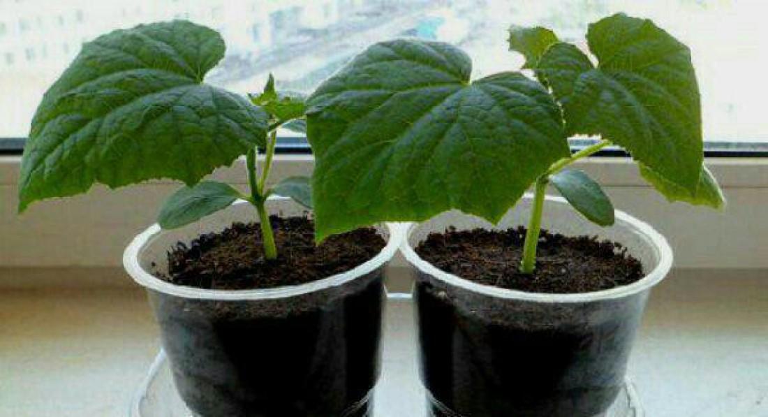 Как вырастить огурцы на подоконнике в домашних условиях