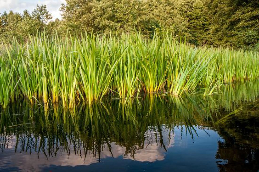 Травы на Троицу: Аир (ангельская трава)