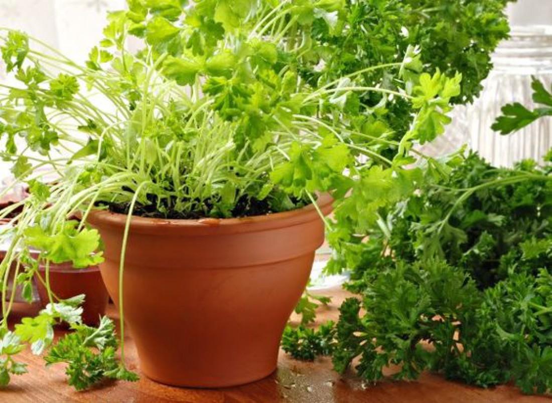 Огород на подоконнике: Как вырастить кинзу?
