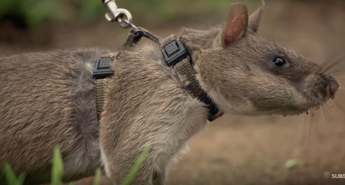 Гамбийская крыса