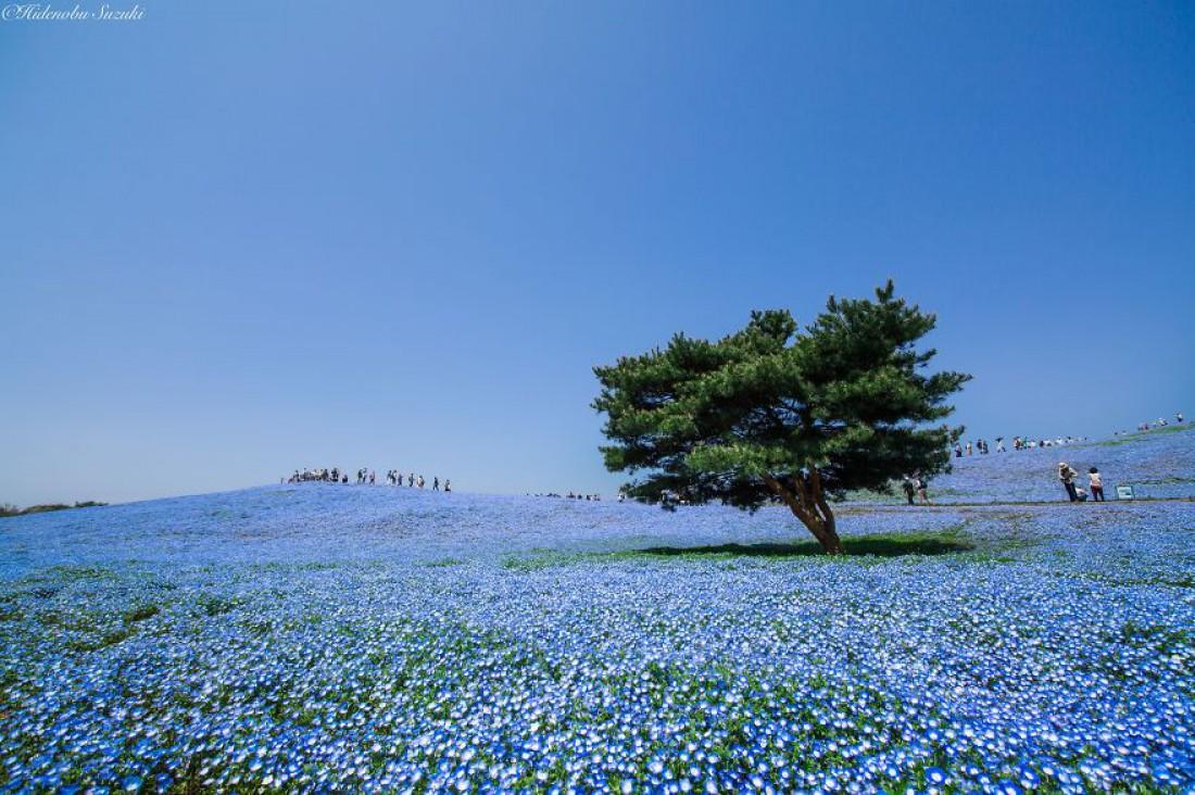 Не сакурой единой: цветение немофилы в Японии