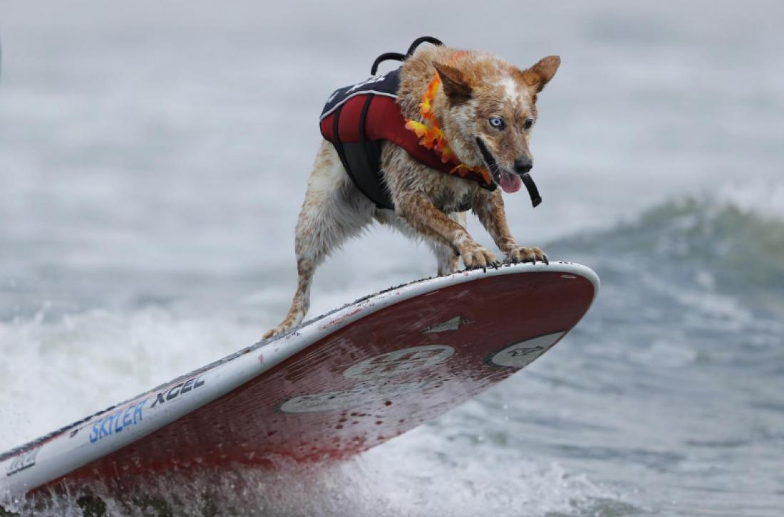 Соревнования собак-серферов