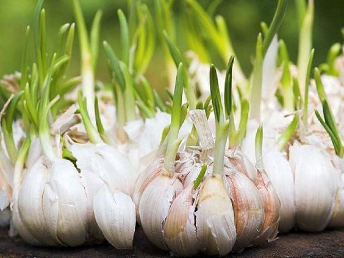 Огород на подоконнике: Как вырастить чеснок?