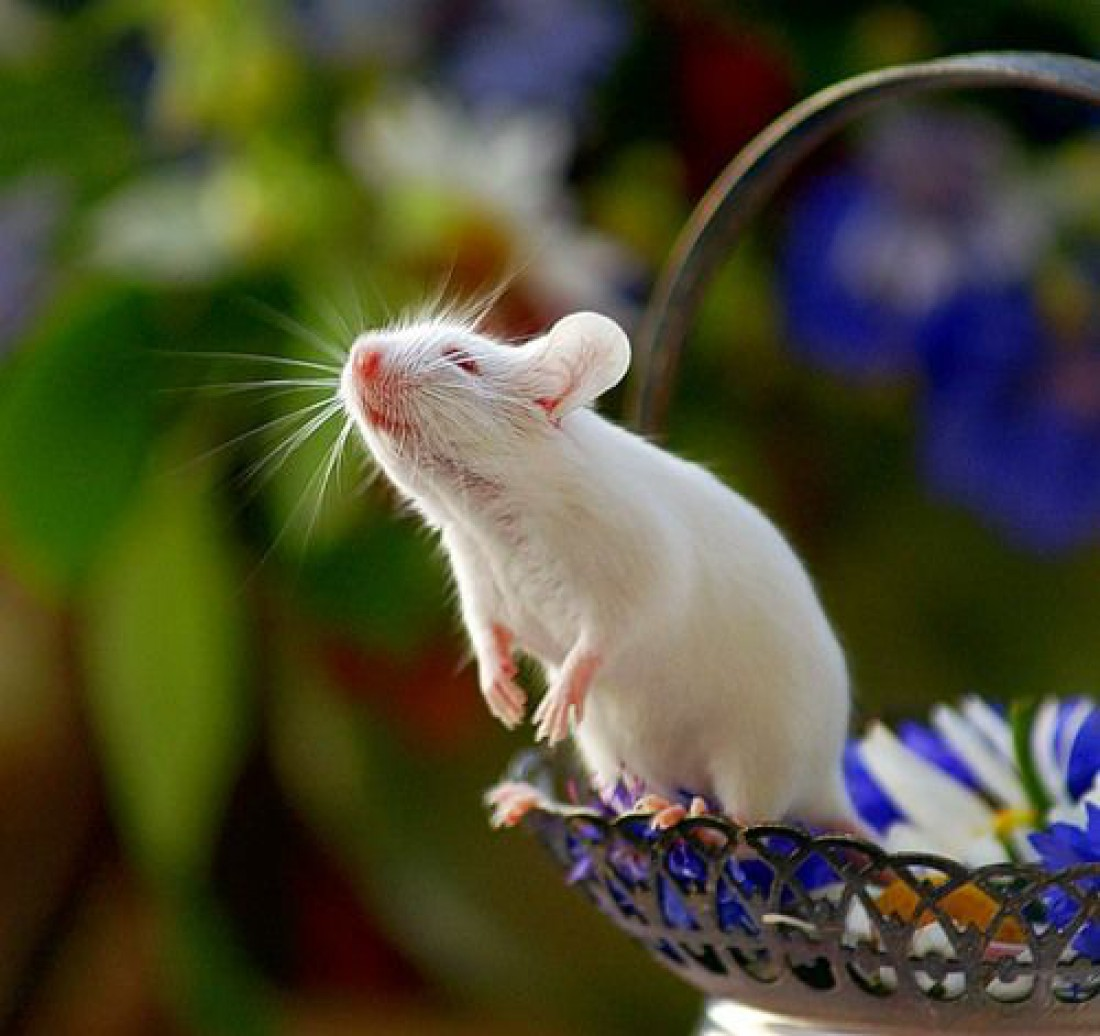 Год Белой Крысы: талисманы, характеристика и символы 2020 года