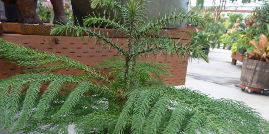 Араукария разнолистная (норфолкская сосна)