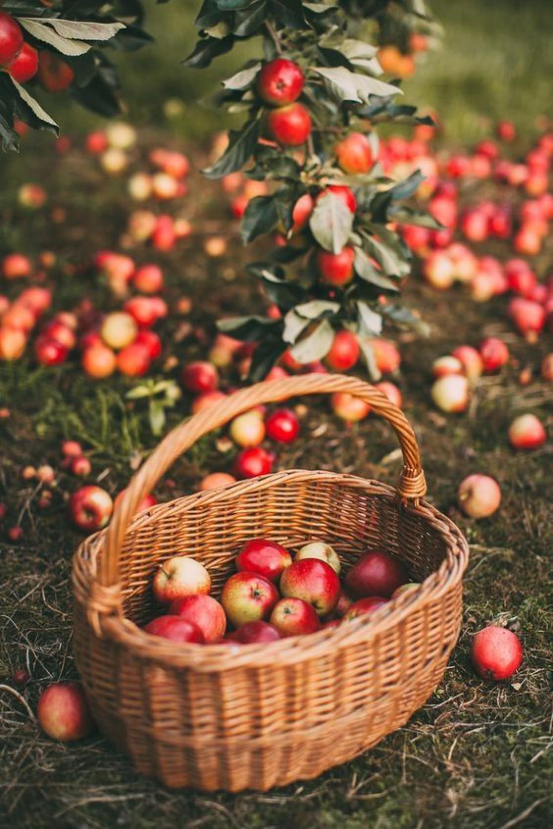 Как хранить яблоки на зиму в домашних условиях