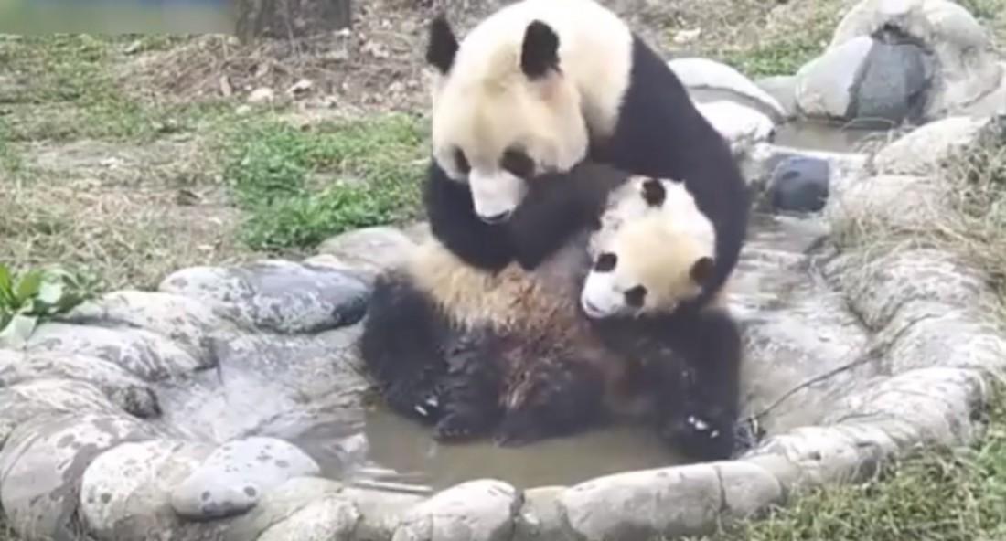 Мама-панда моет своего малыша
