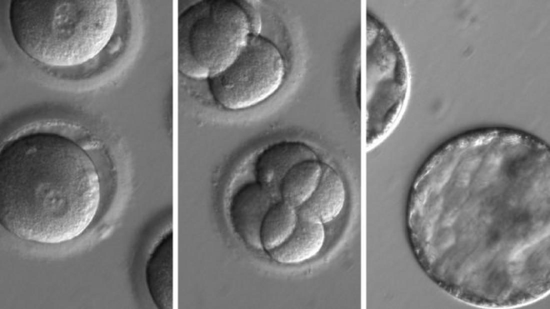 Генетически модифицированный эмбрион