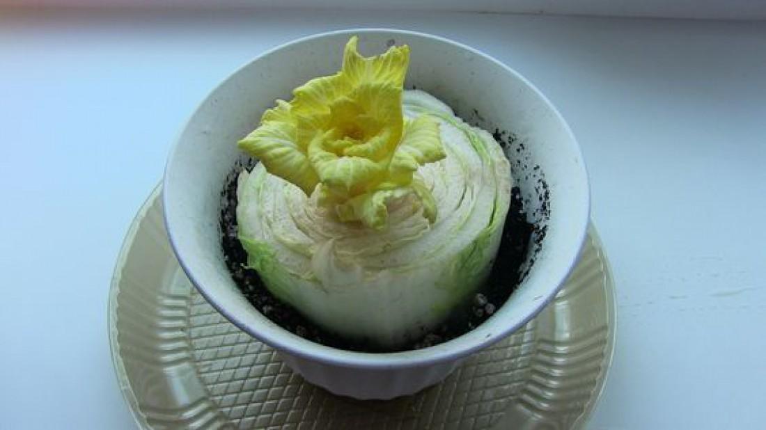 Огород на подоконнике: Как вырастить пекинскую капусту?