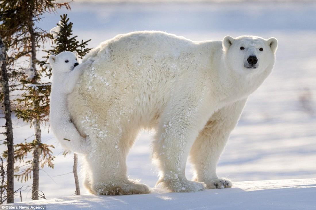 Верхом на маме: белая медведица и ее медвежонок в поисках пищи