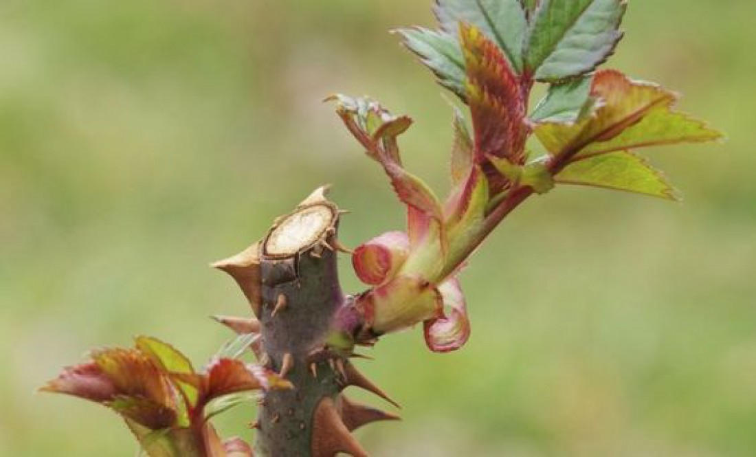 Как вырастить розу из букета в домашних условиях: практичные советы