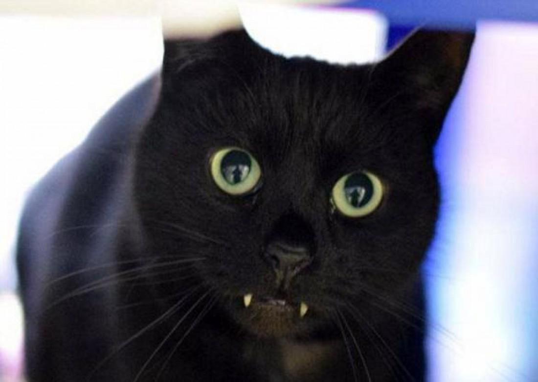 Кот вампир фото