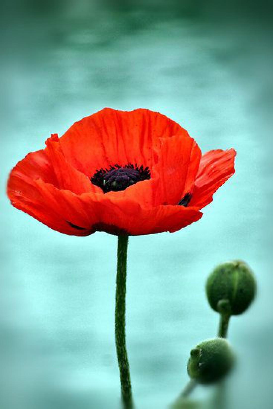Красный мак - символ Дня памяти и примирения