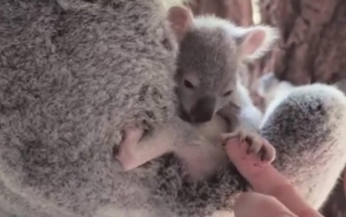 Малыш коалы покорил Сеть