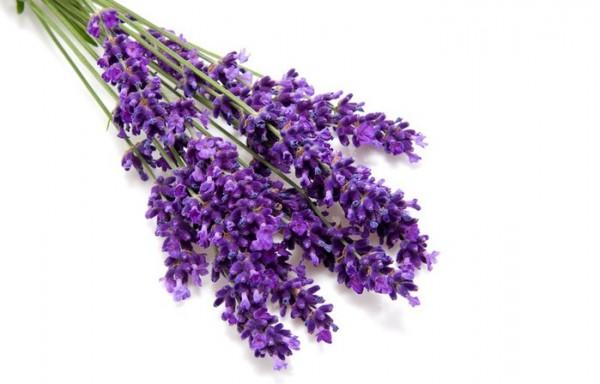 Как пряность используются цветки лаванды, собранные в июне, в самом начале цветения