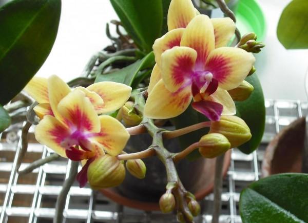 Не забывай, что каждый вид и сорт орхидеи требует особенного подхода. Так, некоторые орхидеи начинают цвести, если на некоторое время устроить им перепад температур. Другим же хватает периода засухи. Уход зависит от того, какой именно сорт или гибрид растет у тебя.