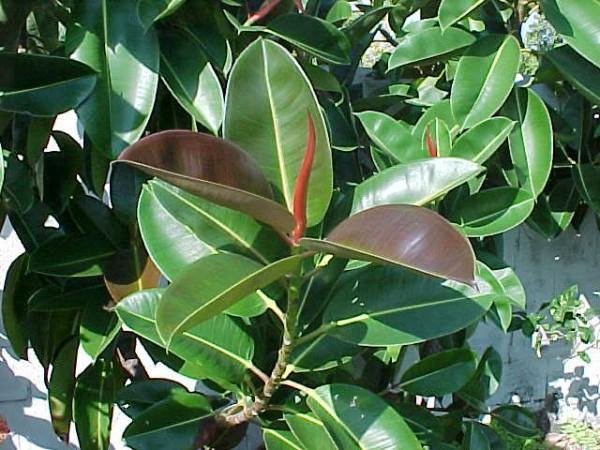 Чтобы получить молодое растение, черенок должен быть вырезан из стебля. Или листочек должен иметь маленький кусочек стебля со спящей почкой возле основания черешка.