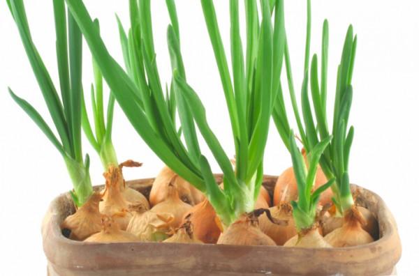 фото зеленый лук на подоконнике