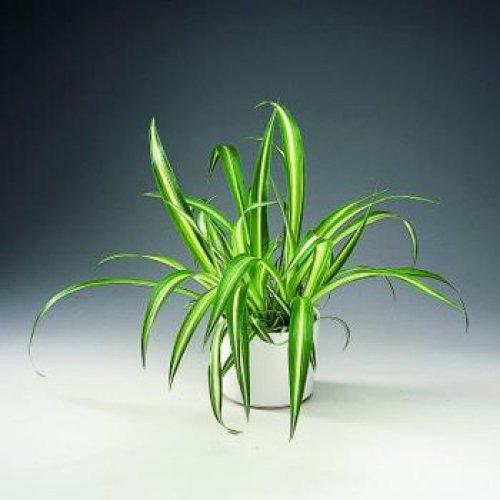 цветы фото комнатные хлорофитум: