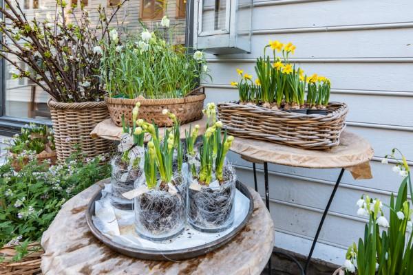 Как ухаживать за луковичными после цветения