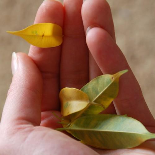 Фикус бенджамина почему желтеют
