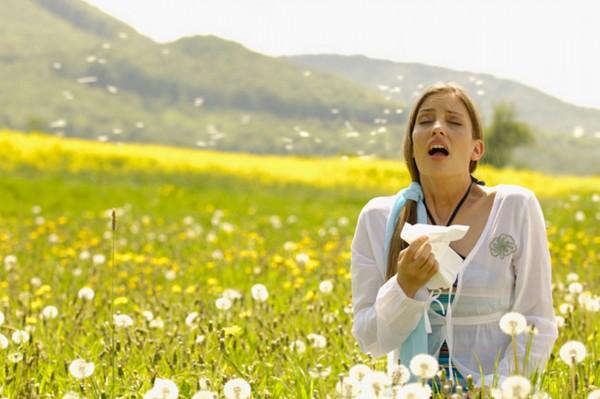 Одуванчики считаются мощным аллергеном