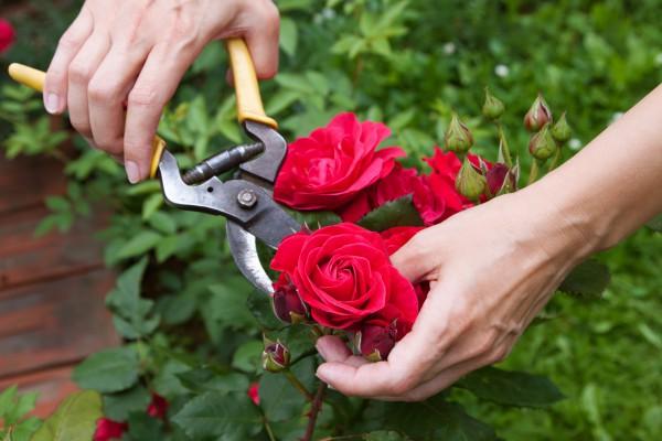 Как выращивать садовые розы