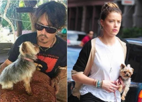 Депп и Амбер со щенками