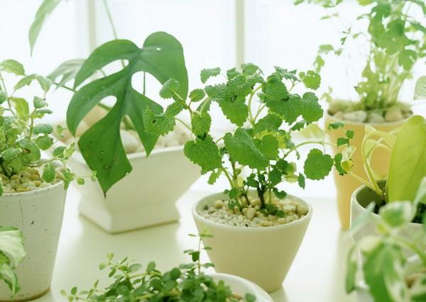 Поливают весной чаше, так как растение пробуждается, дает новые побеги, активизируются потребление питательных веществ, все процессы жизнедеятельности. В летние месяцы больше поливают в солнечные жаркие дни, но сокращают частоту полива, если температура понижается или повышается штажность. Осенью количество воды для полива уменьшают, к зиме доходя до необходимого в это время года минимума. Удобрения используют только в период интенсивного роста (с апреля по сентябрь). Для большинства растений пересаживание в новый горшок осуществляют весной. Новые корни еще не сформировались, но жизненные функции возобновились полностью. Вредители особо активны в летние месяцы, поэтому летом больше внимания. А вот обрезку проводят ранней весной.