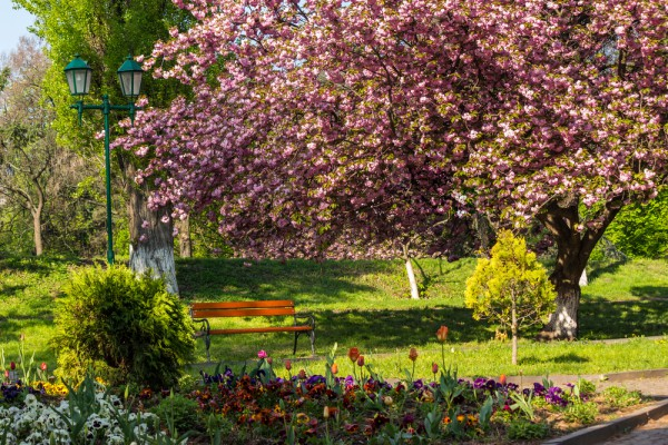Цветущие сакуры в Ужгороде фото