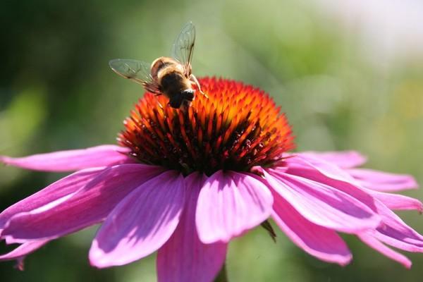 Укус пчелы способен вызвать аллергию