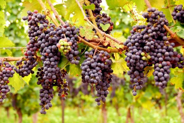 Виноград: как ухаживать с весны до поздней осени на