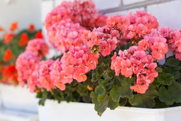 Уход за геранью (пеларгония)- Комнатные растения 91