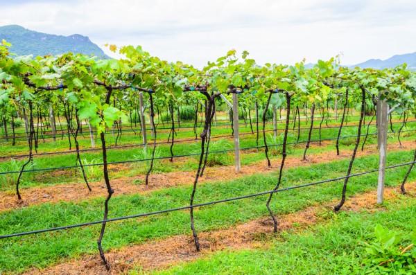 В какое время и как сажать виноград 54