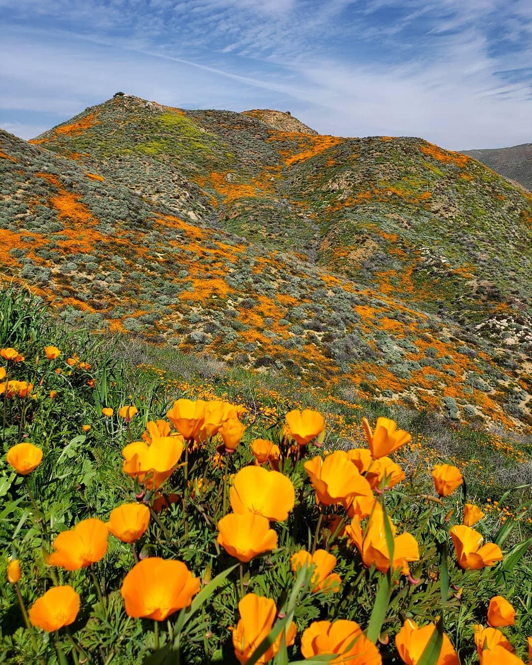 В Калифорнии расцвела целая долина желтых маков - фото и видео туристов