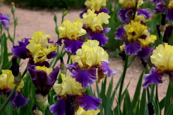 ТОП-5 неприхотливых растений для сада: ирис