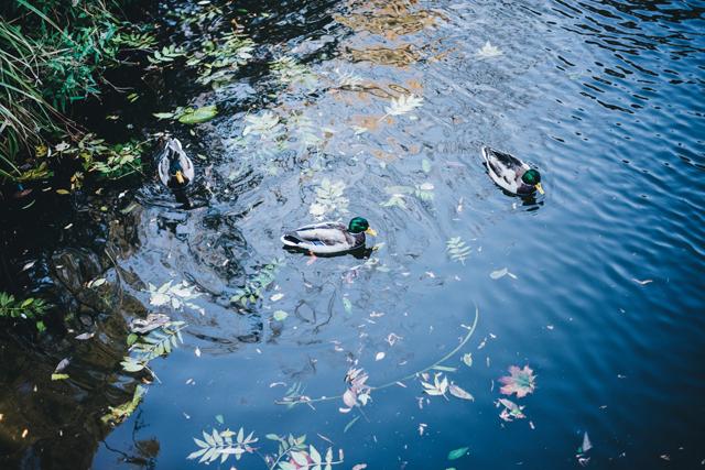 В многочисленных прудах парка водятся утки