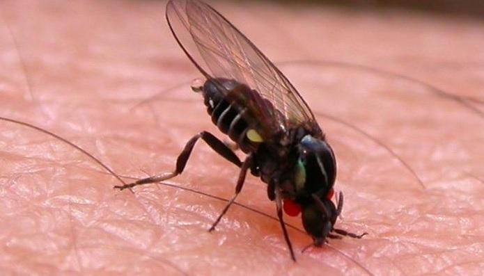 Самые опасные летние насекомые: Мошка