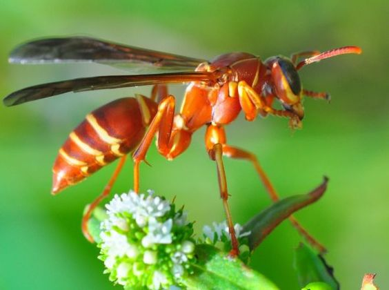 Самые опасные летние насекомые: Оса