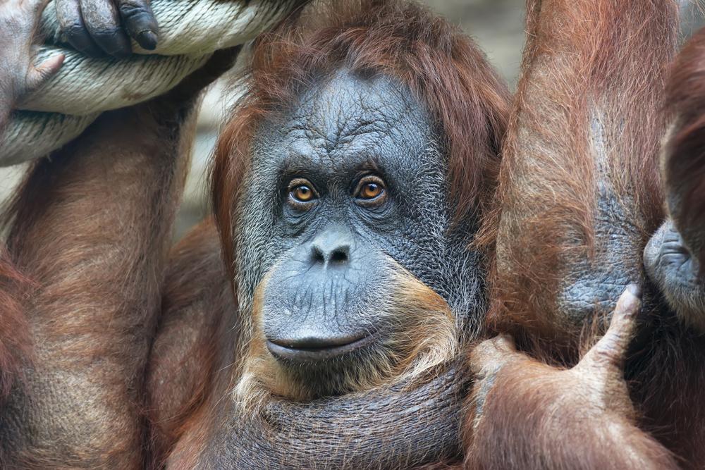 Секс с орангутан