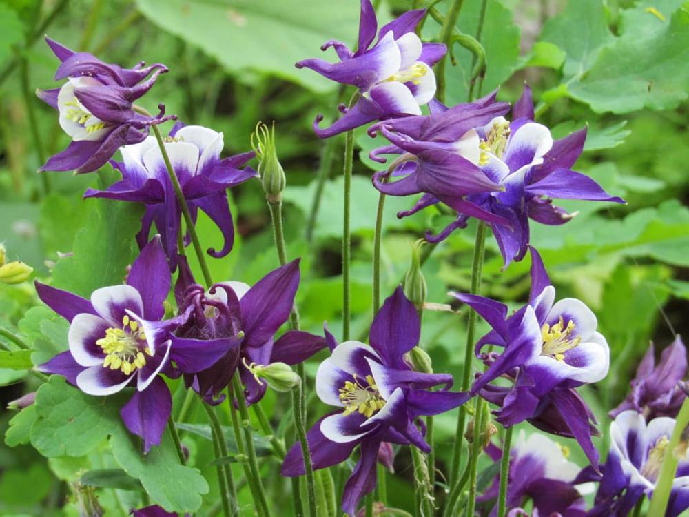 ТОП-5 неприхотливых растений для сада: аквелегия