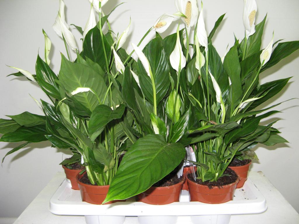 Комнатный цветок спатифиллум как ухаживать