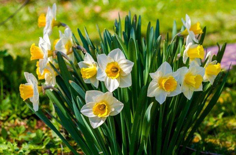 ТОП-5 неприхотливых растений для сада: нарцис