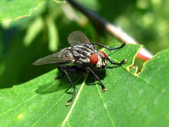 Самые опасные летние насекомые: Мухи