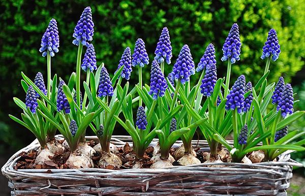 ТОП-5 неприхотливых растений для сада: мускарии