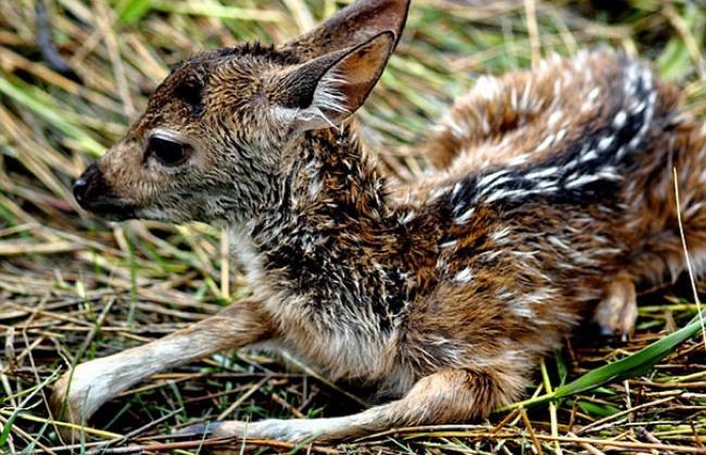 Мальчик спас маленького олененка, рискуя своей жизнью