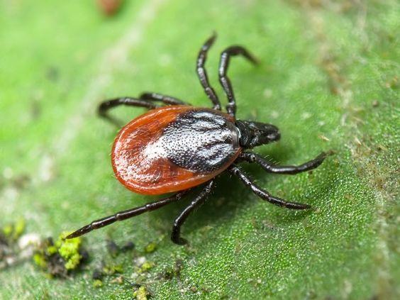 Самые опасные летние насекомые: Клещи