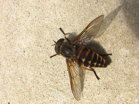 Самые опасные летние насекомые: Слепень