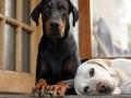 Какие большие собаки подойдут для жизни в квартире